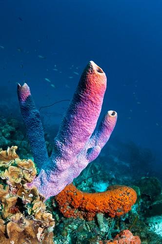 Sponges in the Caribbean