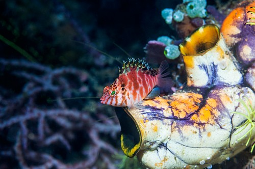 Spotted hawkfish on a sea squirt