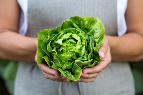 A woman holding a head of freshly picked artisinal green lettuce in her hand