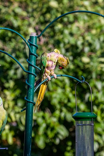 Moulting ring-necked parakeet on a bird feeder