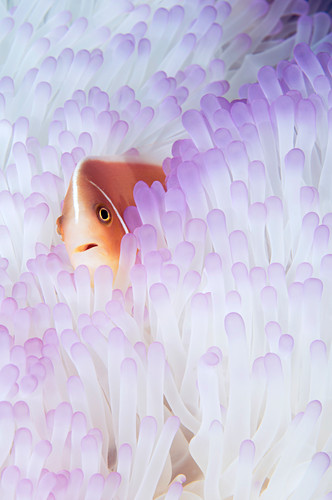 Pink Anemonefish in Bleached Anemone
