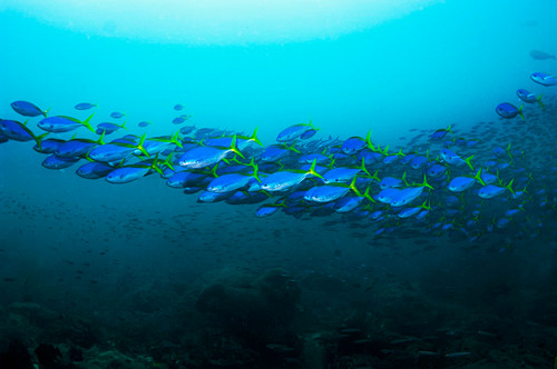 Yellow and blueback fusiliers