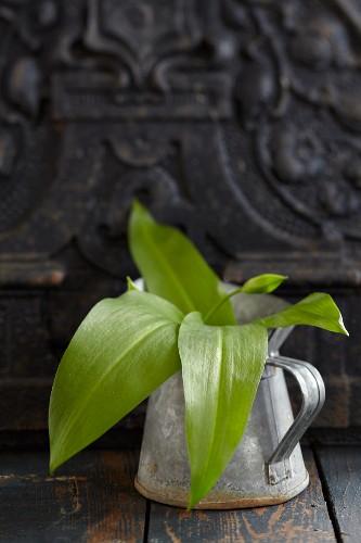 Fresh wild garlic leaves in a vintage metal jug