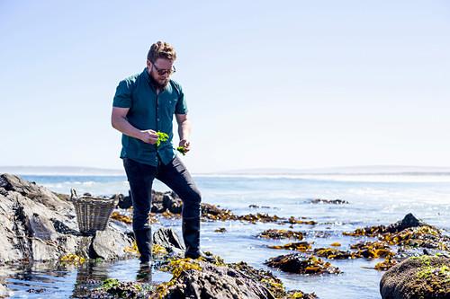 Koch auf der Suche nach Meeresalgen und Seeigeln