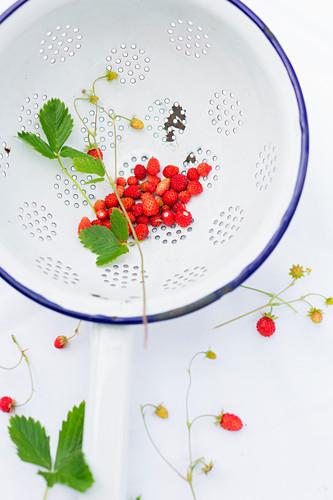 Freshly picked wild strawberries in an old enamel colander