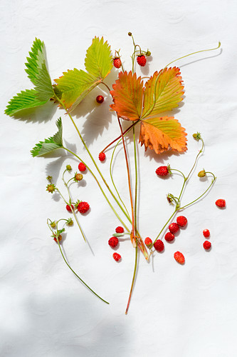 Wild strawberry leaves and berries on a piece of linen