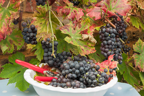 A white bowl of freshly picked black grapes underneath an autumn grape vine outside in Autumn