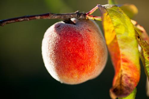 A peach on the tree