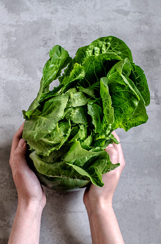 Hands holding a lettuce head