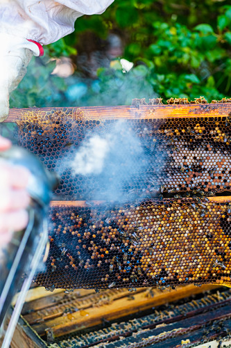 A beekeeper with a smoker in front of honeycombs