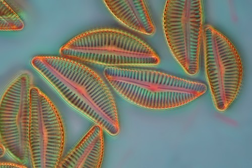 Diatom, light micrograph