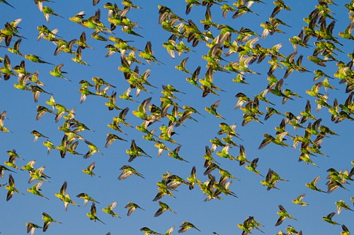 Budgerigars flocking to find water, Australia