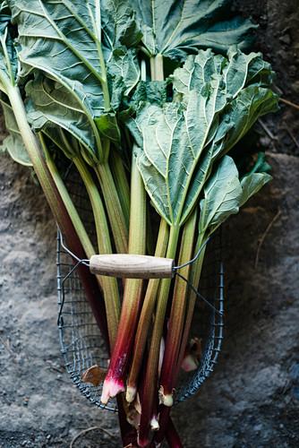 Fresh rhubarb in a wire basket