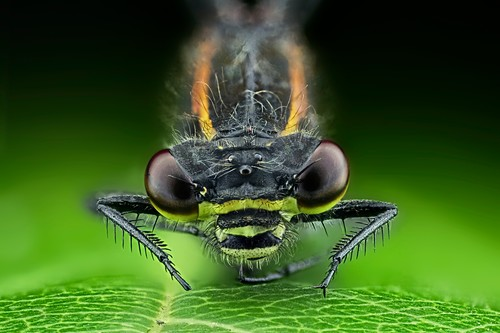 Dragonfly on a leaf,light micrograph