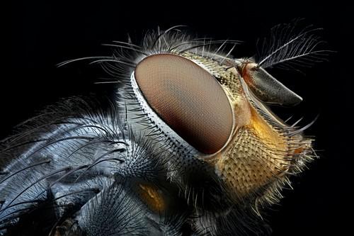 Blowfly head