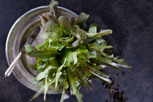 A small head of lettuce on an old pewter plate