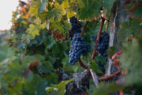 Ripe Cabernet-Sauvignon grapes on an old vine