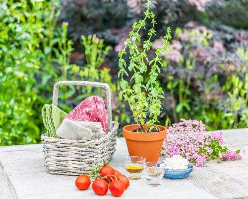 Oregano in a flower pot on a garden table