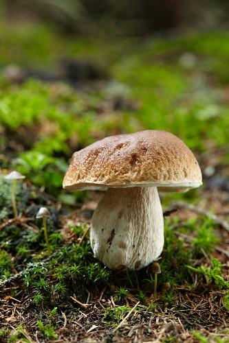 Ein Steinpilz im Wald