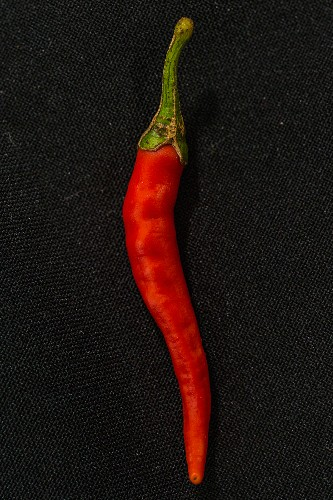 A Purple Cayenne chilli pepper