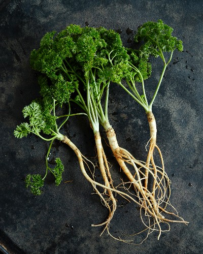 Curly-leaf parsley with roots