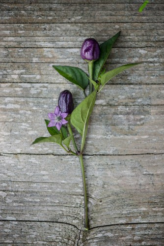 Violet chillis with a flower on a wooden surface