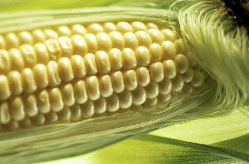 Corn on the Cob in the Husk; Corn Silk