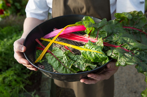 A gardener holding a sieve with fresh chard