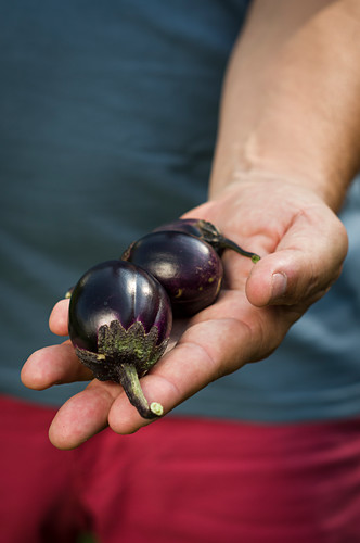 Freshly harvested mini eggplants of the Bambino variety in a man's hands