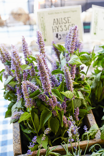 Edible flowers-Anise Hyssop, a licorice flavored flower used to make tea
