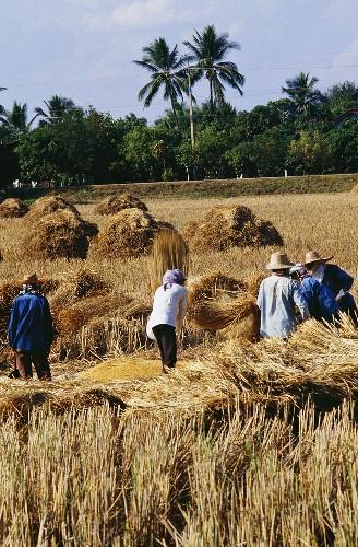 Farmers Outside Working in a Rice Field