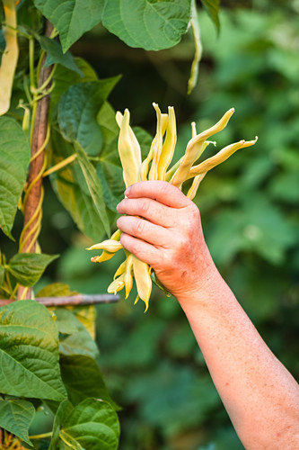 Harvesting yellow wax beans