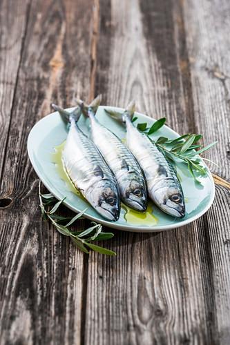 Drei frische Makrelen mit Olivenöl und Olivenzweigenl auf Teller
