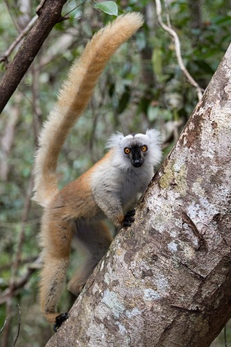 Femal black lemur in a tree