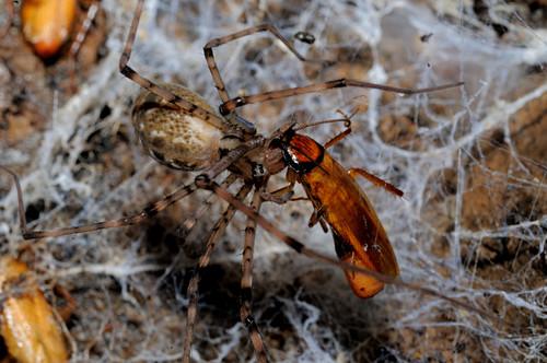 Spider Eats Cockroach