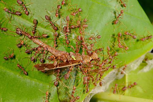 Weaver ants attacking grasshopper