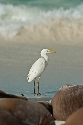 Cattle Egret, Galapagos