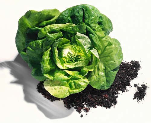 A Head of Green Leaf Lettuce on Dirt