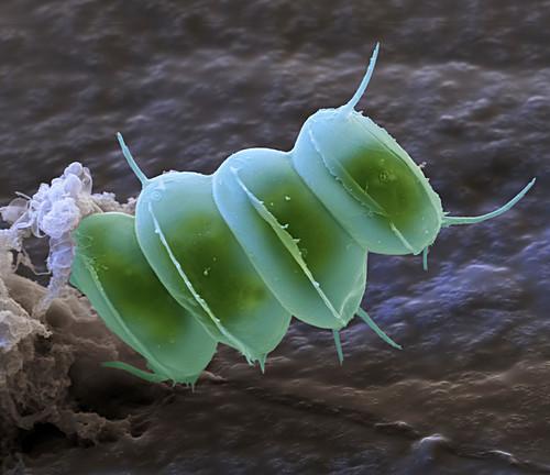 Scenedesmus sp. algae, SEM
