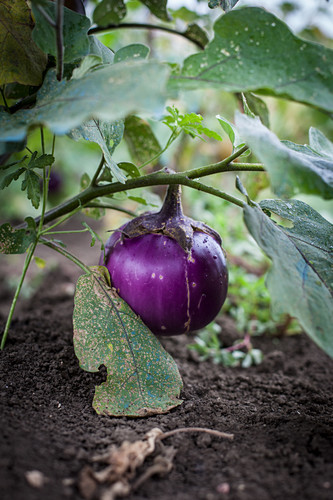 Aubergines in a field