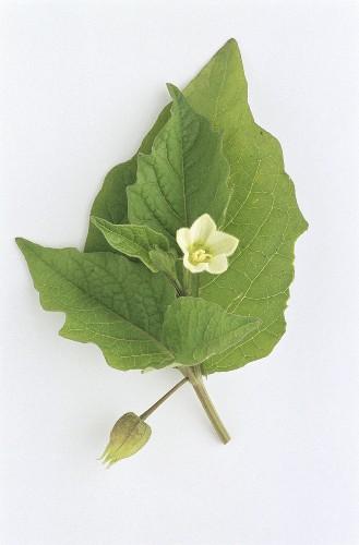 Winter cherry (Physalis alkekengi), flower, leaves