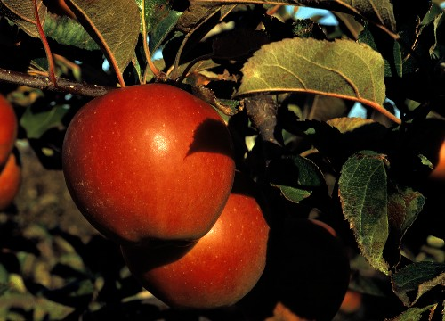 Empire Apples in a Tree