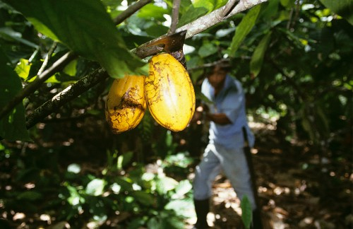 Cocoa harvest: cacao fruits on the tree