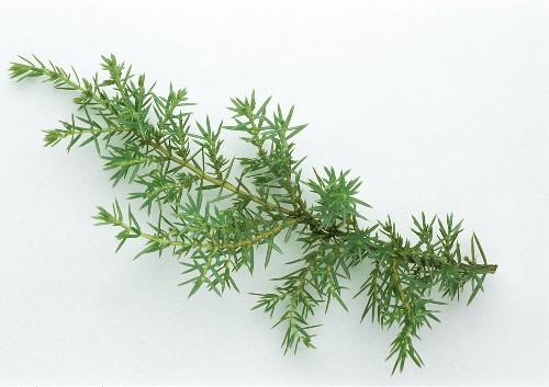 A sprig of juniper (Juniperus communis)