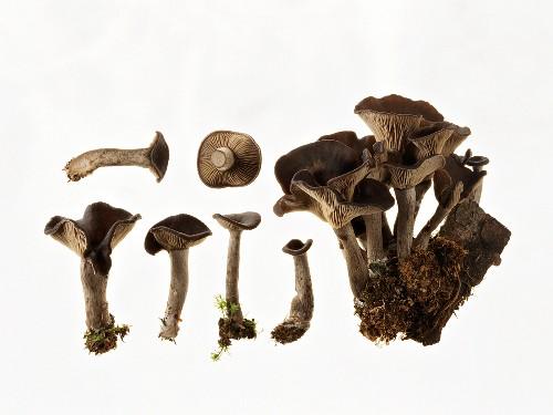 Mushrooms (Pseudoclitocybe cyathiformis)