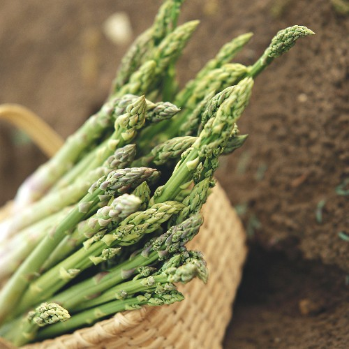 Green asparagus - freshly cut in basket on soil