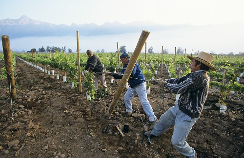 Erecting wooden stakes in vineyard, Aconcaqua Valley, Chile