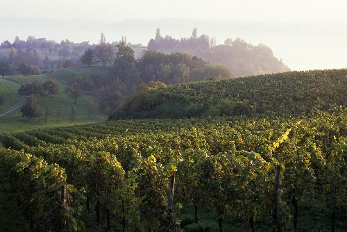 Vineyards at Überlingen, Lake Constance area, Baden-Württemberg