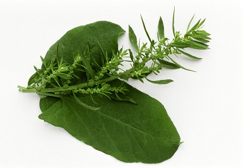 Epazote - a herb of Mexican cuisine