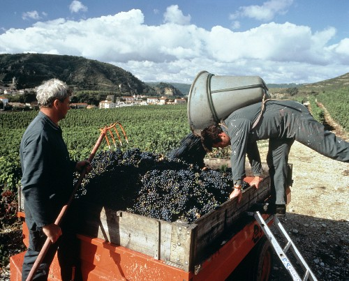 Picking Syrah grapes in Paul Jaboulet's Aine vineyard
